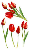 Watercolor painting. Isolated red tulips buds flow. Watercolor illustration of five beautiful red tulip buds flowers composed separately and in a bouquet vector illustration