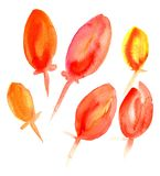 Watercolor red tulips. Beautiful red untapped tulips on a white background. Watercolor Royalty Free Stock Photography