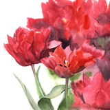 Watercolor red tulips. Floral hand-painted illustration for greeting cards.  Royalty Free Stock Images
