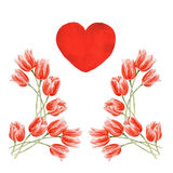 Watercolor red tulips. And heart on an isolated background vector illustration