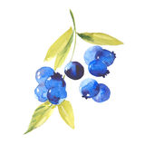 Watercolor ripe blueberries Royalty Free Stock Images
