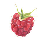 Watercolor ripe raspberry Royalty Free Stock Image