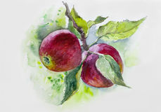 Watercolor. Ripe red apples on branch. painting, orchard, fall, branch, sunlight, wallpaper, ripe, n. Watercolor Ripe red apples on branch stock photos