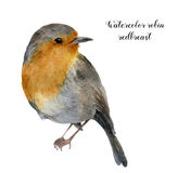 Watercolor robin redbreast. Hand painted illustration with bird isolated on white background. Nature print for design. Royalty Free Stock Photography