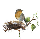 Watercolor robin sitting on nest with eggs. Hand painted illustration with bird and branch of wood isolated on white. Background. Nature print for design vector illustration