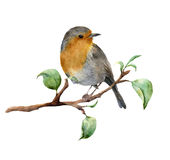 Watercolor robin sitting on tree branch with leaves. Hand painted spring illustration with bird isolated on white. Background. Nature print for design Stock Images