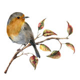 Watercolor robin sitting on tree branch with red and yellow leaves. Autumn illustration with bird and fall leaves