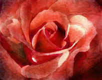 Watercolor Rose. Digital painting of a close-up of red rose petals Royalty Free Stock Image