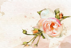 Watercolor rose and buds 3 Royalty Free Stock Images