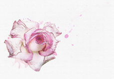 Rose watercolor background  Royalty Free Stock Photo