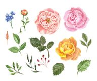 Watercolor collection of pink and orange roses, buds and green leaves on white background. Hand drawn beautiful flowers