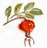 Watercolor rose hip1 . Rose hip on white. Watercolor art Royalty Free Stock Photo