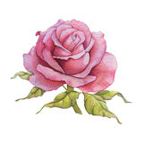 Watercolor rose Stock Photo