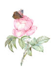Watercolor rose illustration. Watercolor pink rose and butterly botanical illustration Royalty Free Stock Images