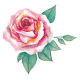 Watercolor rose. Isolated watercolor rose painting Royalty Free Stock Image