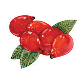 Watercolor Rosehips Stock Photos