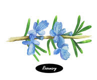 Watercolor rosemary branch and flowers Stock Image