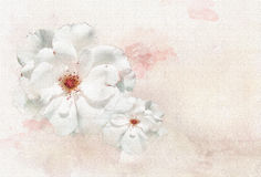 Roses white watercolor background  Stock Photography