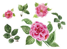 Watercolor roses and leaves, pink hand painted flowers, peony. D Stock Photos