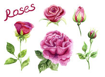 Watercolor roses, pink hand painted flowers Stock Photos