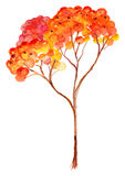 Watercolor rowan ashberry branch botanical illustration isolated Stock Images