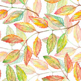 Watercolor rowan ashberry leaf branch botanical seamless pattern Royalty Free Stock Images