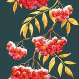 Watercolor rowan pattern Royalty Free Stock Image
