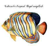 Watercolor Royal angelfish. Hand painted tropic fish isolated on white background. Underwater animal illustration for. Design, fabric or print Stock Photos