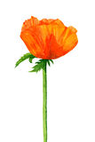 Watercolor scarlet poppy. Stock Photography