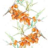 Watercolor sea buckthorn Stock Photography