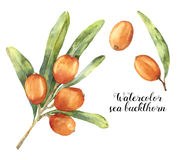 Watercolor sea buckthorn set. Botanical food illustration with seaberry and leaves isolated on white background. For Royalty Free Stock Photography