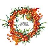 Watercolor sea buckthorn wreath Royalty Free Stock Photos