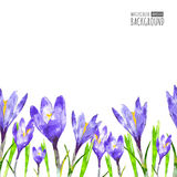 Watercolor seamless background with purple crocus flower and gre. En leaves.  Vector floral illustration with place for text Royalty Free Stock Photo
