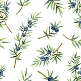 Watercolor seamless pattern of plants juniper isolated on white background. Botanical illustration with berries and branches royalty free illustration