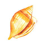 Watercolor Seashell Stock Images