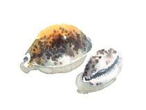 Watercolor Seashells Cypraea Tigris Illustration Hand Painted. Watercolor Illustration of Seashells Cypraea Tigris isolated on white background Stock Photo