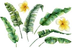 Watercolor set with banana leaves and plumeria. Hand painted greenery tropical palm brunch and frangipani on white vector illustration