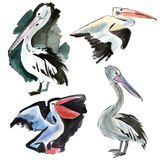 Watercolor set of birds Pelican Royalty Free Stock Images