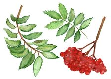 Watercolor set green branches and red berries of a mountain ash isolated on a white background. Flower pattern for beautiful design of wedding invitations vector illustration