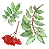 Watercolor set green branches and red berries of a mountain ash isolated on a white background. Flower pattern for beautiful design of wedding invitations royalty free illustration