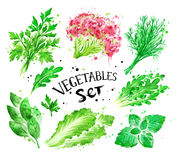 Watercolor set of green vegetables. Hand drawn watercolor set of green vegetables, salad leaves and spices Royalty Free Stock Photos