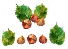 Watercolor set of hazelnuts isolated on white background. Royalty Free Stock Photo