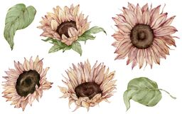 Watercolor set of isolated sunflowers and leaves in realistic style. Beautuful fall floral clipart.