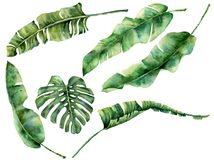 Watercolor set with juicy tropical tree leaves. Hand painted monstera, banana and palm greenery exotic branch on white. Background. Botanical illustration for royalty free illustration