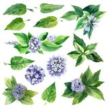 Watercolor set of mint. Royalty Free Stock Images