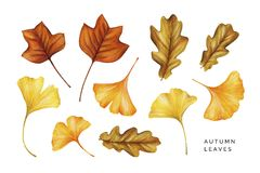 Watercolor Set Of Autumn Leaves. Tulip Tree, Oak And Ginkgo Leaves.