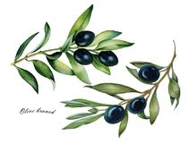 Watercolor set of oliva branch with olives isolated royalty free illustration