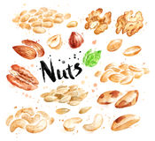 Watercolor set of peeled nuts Stock Images