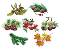 Watercolor set of plant acorn, chestnut, maple leaf, Rowan, cedar, cones,  tree needles isolated. On white background Stock Photo