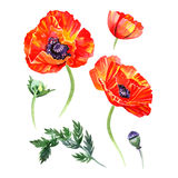 Watercolor set of poppies flowers and buds illustrations. Hand drawn detailed floral elements isolated royalty free illustration